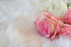 Season of Love (flashfix) Tags: february142020 2020inphotos flashfix flashfixphotography ottawa ontario canada nikond7100 40mm stilllife rose pink daisy white soft feminine valentinesday romantic simple texture negativespace pinkandwhite floral flowers