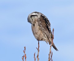 Self-care (Slow Turning) Tags: surniaulula northernhawkowl raptor bird perched tree preening feathers rarity rare winter southernontario canada