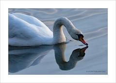 Swan (prendergasttony) Tags: avian swan rspb nikon d7200 tony prendergast elements water wildlife wild wings bird beak border birdwatching birding reflection neck