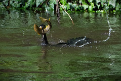 Salvador Dali (mond.raymond1904) Tags: salvador dali cormorant trout dodder dublin river