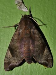 A HAWK MOTH DOING A SALES PITCH P1210148 (Steve & Alison1) Tags: many colour little hawk moth acosmeryx anceus sphingidae mandalay rainforest airlie beach