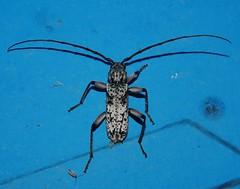 A LONGICORN BEETLE GAVE AN ARM TO BE THERE P1210147 (Steve & Alison1) Tags: long horn longicorn beetle eutrichillus sp cerambycidae mandalay rainforest airlie beach spotted