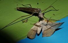 Praying mantis enjoying the night life P1210122 (Steve & Alison1) Tags: bronze stick mantis archimantis sp mantidae mandalay rainforest airlie beach moth anthela acuta anthelidae