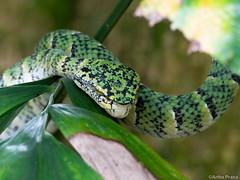 P2100017 (gprana) Tags: em5 hindhedenaturepark micro43 microfourthirds olympus olympusmzuikodigitaled75300mmf4867ii olympusomdem5 reptile singapore snake viper waglerspitviper wildlife m43