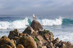 Surfing in Pacific Grove (Jill Clardy) Tags: ca california monterey montereybayaquarium northamerica pacificgrove usa 202002089l8a1192 surf surfing coast coastal pacific ocean bird seagull gull rocks rocky boulders