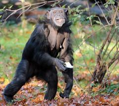 chimpanzee Burgerszoo BB2A0340 (j.a.kok) Tags: animal africa afrika aap ape mammal monkey mensaap zoogdier dier primate primaat chimpansee chimpanzee pantroglodytes burgerszoo
