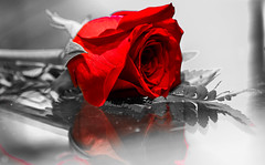 Happy Valentines Day everyone! (mnazila) Tags: love redrose rose valentinesday
