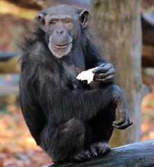 chimpanzee Burgerszoo BB2A0315 (j.a.kok) Tags: animal africa afrika aap ape mammal monkey mensaap zoogdier dier primate primaat chimpansee chimpanzee pantroglodytes burgerszoo