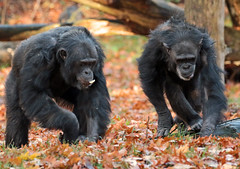 chimpanzee Burgerszoo BB2A0306 (j.a.kok) Tags: animal africa afrika aap ape mammal monkey mensaap zoogdier dier primate primaat chimpansee chimpanzee pantroglodytes burgerszoo