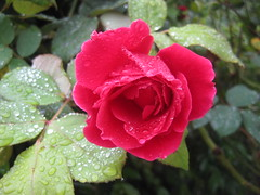 A Papa Meilland Bloom Covered in Raindrops (raaen99) Tags: rose rosa flower flora petal petals leaf leaves foliage bloom oldfashioned bud victoria australia melbourne papameilland papameillandrose allainmeilland meillandinternational meillandinternationalrose meillandinternationalroses allainmeillandrose allainmeillandbreed red rouge vermilion frenchrose 1963 french hybrid hybridtearose tearose hybridrose summertime summer rain drop raindrop water dew droplet waterdroplet raindroplet reflection