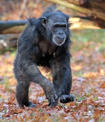 chimpanzee Burgerszoo BB2A0299 (j.a.kok) Tags: animal africa afrika aap ape mammal monkey mensaap zoogdier dier primate primaat chimpansee chimpanzee pantroglodytes burgerszoo