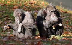 chimpanzee Burgerszoo BB2A0360 (j.a.kok) Tags: animal africa afrika aap ape mammal monkey mensaap zoogdier dier primate primaat chimpansee chimpanzee pantroglodytes burgerszoo