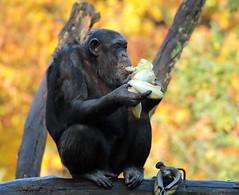 chimpanzee Burgerszoo BB2A0351 (j.a.kok) Tags: animal africa afrika aap ape mammal monkey mensaap zoogdier dier primate primaat chimpansee chimpanzee pantroglodytes burgerszoo