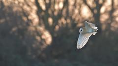 Sunset Barn Owl (KHR Images) Tags: barnowl barn owl tytoalba wild bird birdofprey inflight hunting sunset cambridgeshire fens nikon d500 kevinrobson khrimages
