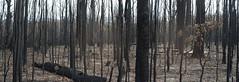 One month later (OzzRod) Tags: pentax k1 zenitarm50mmf17 зенитарм bushfire fireground stitch panorama currowanfire bendalong nswsouthcoast