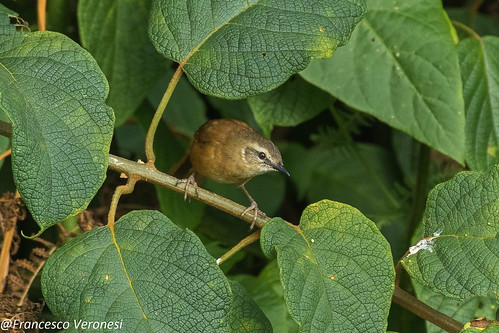 Cinnamon Braken-Warbler - Mt.Kenya - Kenya CD5A0407