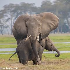 Mother and Child Bonding (Greg Taylor Photography) Tags: amboseli elephant motherandchild kenya africa wildlife wildlifephotography
