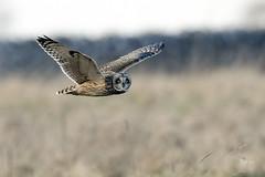 eyes right (andy_harris62) Tags: shortearedowl shortie owl nikond850 nikkor500mmf4 nikon wildlife wildlifephotography nature naturephotography bird bif birdinflight birdofprey raptor hank you jan