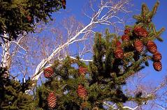 """Cincinnati - Spring Grove Cemetery & Arboretum """"Pine Cones At The Sycamore Tree"""" (David Paul Ohmer) Tags: cincinnati ohio spring grove cemetery arboretum pine cones sycamore tree"""