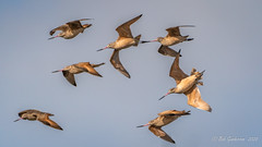 Marbled Godwits (Bob Gunderson) Tags: alamedacounty arrowheadmarsh birds california eastbay limosafedia marbledgodwit northerncalifornia sandpipers shorebirds
