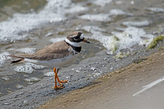 Ringed Plover (drbut) Tags: ringedplover charadriushiaticula wader wadingbird water shallowwater lakes avian bird birds coumtryside wildlife nature