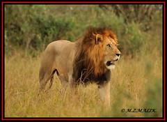 THE YOUNG KING OF JUNGLE (Panthera leo)....MASAI MARA....SEPT 2013 (M Z Malik) Tags: nikon d3x 200400mm14afs africa kenya safari masaimara kws exoticafricanwildlife exoticafricancats flickrbigcats leo lionking pantheraleo ngc