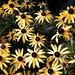 Purdue University 07-26-2019 10 - Black-eyed Susan Flower