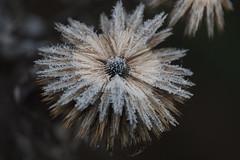 Frost 2 (Håkan Jylhä (Thanks for +1000000 views)) Tags: winter flower frozen vinter frost sweden sony blomma sverige håkan jylhä rx10iv macro closeup dof close bokeh