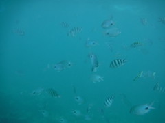Fish Everywhere! (Rckr88) Tags: pointeauxbiches mauritius pointe aux biches sea water waves wave ocean coast coastline coastal fish marine marinelife underwater snorkel snorkelling coral coralreef corals reefs reef nature naturalworld