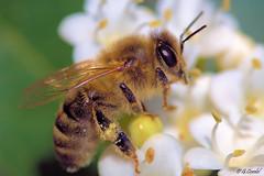 Abeille mellifère (g.cordel) Tags: macro abeille bee nikon sigma