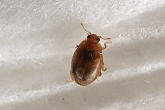 Rhyzobius litura (lloyd177) Tags: somerset rhyzobius litura ladybird beetle