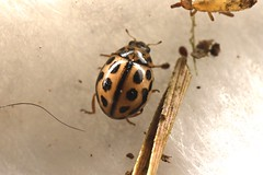 Tytthaspis sedecimpunctata (lloyd177) Tags: somerset tytthaspis sedecimpunctata ladybird beetle