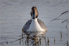 Photo of Northern Pintail (Anas acuta) Male
