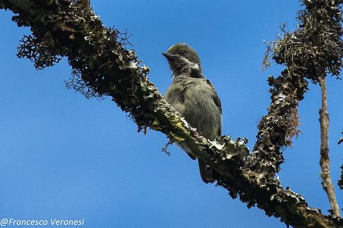 Moustached Tinkerbird - Mt.Kenya - Kenya CD5A0289