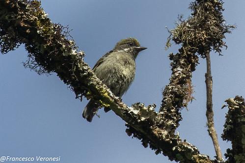 Moustached Tinkerbird - Mt.Kenya - Kenya CD5A0256