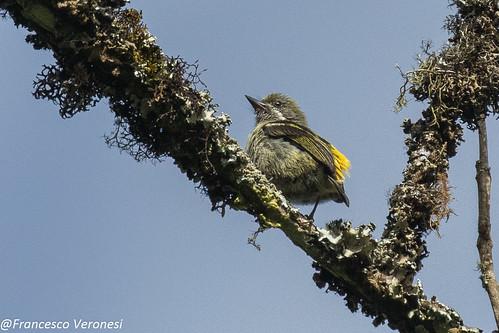 Moustached Tinkerbird - Mt.Kenya - Kenya  CD5A0245