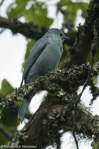 Gray Cuckoo-Shrike - Mt.Kenya - Kenya CD5A0228
