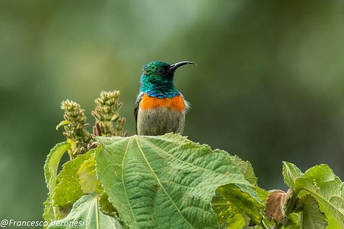 Northern Double-collared Sunbird - Mt.Kenya - Kenya CD5A0198