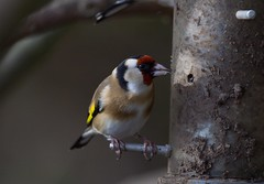 Photo of Goldfinch  41