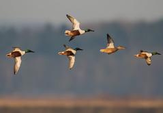 Northern Shoveller (Gary Vause) Tags: anasclypeata swillingtonings staidansrspb wildfowl duck d500 birdinflight rspb nikon600mmf4