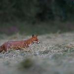 Fox in a freshly cut field