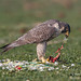 Peregrine Falcon Consuming a Parrot - Relishing every bit of it!