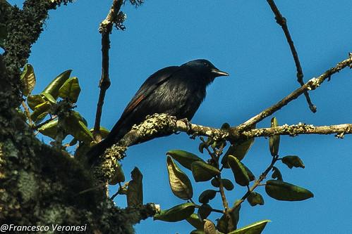 Waller's Starling - Mt.Kenya - Kenya CD5A0758