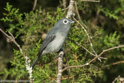 White-eyed Slaty-Flycatcher - Mt.Kenya - Kenya CD5A0582