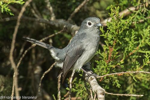 White-eyed Slaty-Flycatcher - Mt.Kenya - Kenya CD5A0563