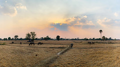 Don Som - Laos (Ron van Zeeland) Tags: donsom dondeth 4000islands laos asia southeastasia ricefields rural dry drought buffalo sunset