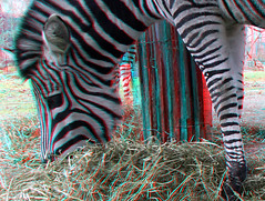 Zebra 3D (wim hoppenbrouwers) Tags: zebra 3d anaglyph stereo redcyan