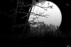 Nuit de pleine lune (Un jour en France) Tags: canonef1635mmf28liiusm canoneos6dmarkii nature strange lune lumière nuit arbre forêt contrejour étoile étrange cielpaysage noiretblanc noiretblancfrance monochrome