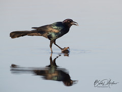 Boat Tailed Grackle II (Barb D'Arpino Photography) Tags: nature wildlife outdoors florida usa northamerica canon1dx eos1dx barbaralynne copyrightbarbdarpino barbaralynnedarpino barbdeardendarpino boattailedgrackle breakfast naturephotographer femalephotographer wildlifephotographer wasagabeachphotographer