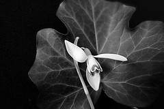 Snowdrop (majka44) Tags: macro snowdrop black white macroworld blackandwhite biancoenero art flower leaves foliage structure lines detail bw